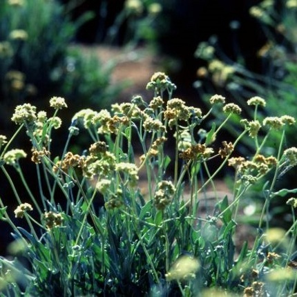 Much more suited for arid environments than rubber trees, the guayule plant is a promising candidate for more sustainable, high-yield natural rubber production. (Photo: Jack Dykinga/USDA)