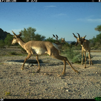 Footage of Sonoran pronghorn captured by university cameras. (Courtesy of David Christianson)