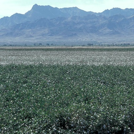 A field planted with Bt cotton in Southern Arizona. (Photo credit: Timothy Dennehy)