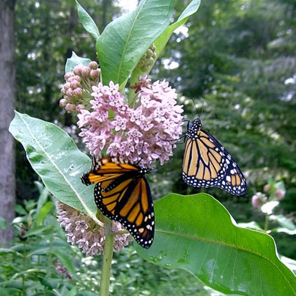 Two monarch butterflies sucking nectar on Common Milkweed, Asclepias syriaca. Of the 73 species of native milkweeds, this one is the most important for the monarch butterfly. (Photo courtesy of Ina Warren)